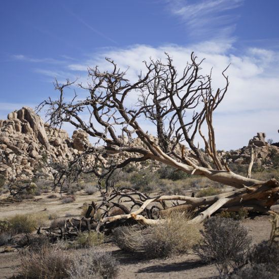 Photo of a fallen tree with branches in desert landscape.