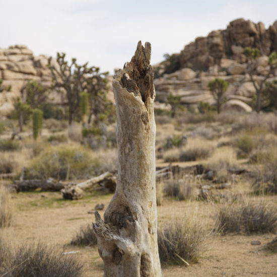 Stump of a Joshua Tree in focus