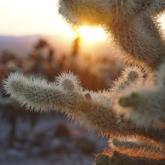 Photo of a cactus up close with the sun rising in the background at Joshua Tree National Park