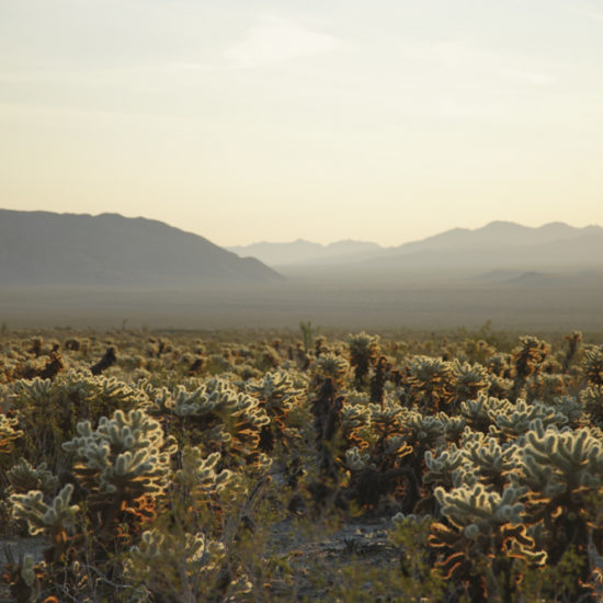 Photo of the beginning of sunrise with the cacti glowing and mountains beyond, in Joshua Tree National Park